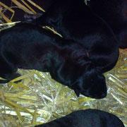 schwarzbraune