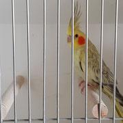 Pale Falben geperlter Jungvogel