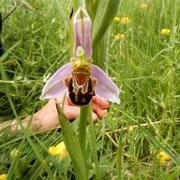 Fior di Vespa, l'orchidea che ride (Ophrys apifera). I fiori di queste piante riproducono la peluria e secernono feromoni identici a quelli rilasciati da una femmina pronta per l'accoppiamento