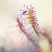 """Mittlerer Sonnentau (Drosera intermedia) mit  einer kleinen Spinne als """"Beute"""""""