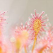 Mittlerer Sonnentau (Drosera intermedia)