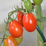TOM 018 PSR Baslerbieter Röteli / Sehr fruchtbare Sorte, eher kleinfrüchtig (etwas grösser als Cherry), rot birnen- oder kalebassenförmig. Anfällig auf Risse bei grossen Luftfeuchtigkeitsschwankungen. Gut lagerbar (spät geerntet bis Weihnachten).