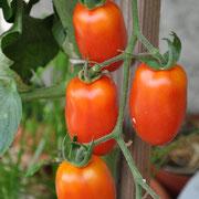 TOM 057 PSR Orange-Gelbe längliche Tomate / Am Aktivtreff ProSpecieRara 2013 von Martin bekommen. Sorte nicht bekannt.
