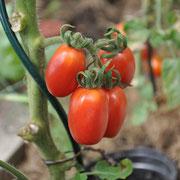 TOM 060 PSR Pedro / Ovale rote Kirschtomaten in Trauben. Guter Ertrag, kann laufend und lange geerntet werden. Mittelfrüh.
