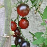 TOM 059 Tomate Blue / Anders als jede Tomate, die Sie je gesehen haben! Lebhaft indigoblau gefärbt, auch bei Reife. Schöne lange, vollbehangene Rispen.