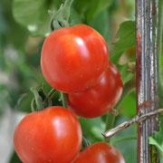 TOM 058 PSR Quedlinburger Frühe Liebe / Robuste, frühreife und schwachwüchsige, kartoffel-blättrige Sorte. Die roten Früch-te sind relativ klein, mit fester Haut. Geschmacklich eine der besten Frühsorten. Ertrag über den ganzen Sommer verteilt.