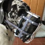 Deutsche Dogge, Schnauzenumfang 50 cm plus Zugabe von 7 cm