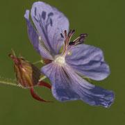 Wiesen-Storchschnabel (Geranium pratense)