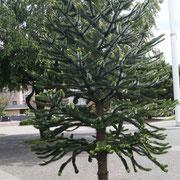 Auracaria - ein typischer Baum hier in der Gegend - kann 1000 Jahre alt werden