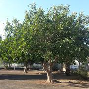 Ficus Benjamini, Urb. Santa Ana, Costa del Silencio, Teneriffa