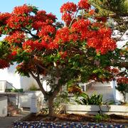 Flamboyant, Urb. Santa Ana, Costa del Silencio, Teneriffa