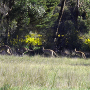 Kangourouuuuus (2)