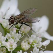 Mouche de la famille des Muscidae butinant les fleurs de Coriandrum sativum L. (coriandre); Photo : M.C