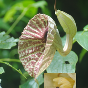 Fannia sp. (Fanniidae) dans une fleur d'Aristolochia grandiflora Sw. (Aristoloche); Photo :  C.P