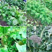 家庭菜園 冬野菜 畑 かぶ 大根 ブロッコリー