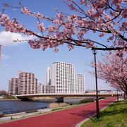 隅田川の土手に咲く桜越しにみえるマンション