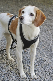 Therapiehund Loulou