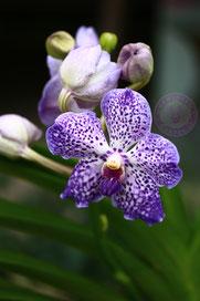 Vanda blaue orchidee
