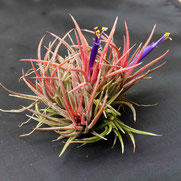filles de l'air creation tillandsia ionantha grappe S