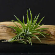 filles de l'air creation tillandsia neglecta