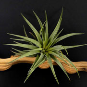 filles de l'air creation tillandsia brachycaulis M