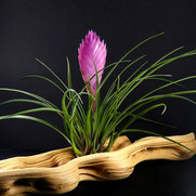 filles de l'air creation tillandsia cyanea L