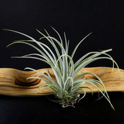 filles de l'air creation tillandsia pohliana