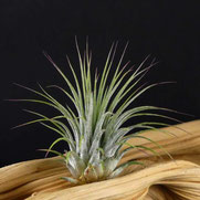 filles de l'air creation tillandsia ionantha