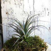 filles de l'air creation tillandsia houston red princess