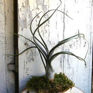 filles de l'air creation tillandsia baileyi