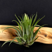 filles de l'air creation tillandsia ionantha scaposa