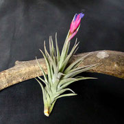 filles de l'air creation tillandsia aeranthos