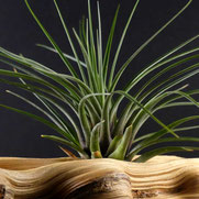 filles de l'air creation tillandsia tricolor melanocrater