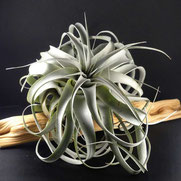 filles de l'air creation tillandsia xerographica XL