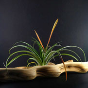 filles de l'air creation tillandsia flabellata