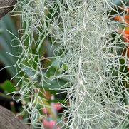 filles de l'air creation tillandsia usneoides