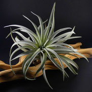 filles de l'air creation tillandsia sphaerocephala