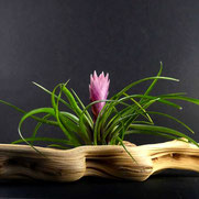 filles de l'air creation tillandsia cyanea M