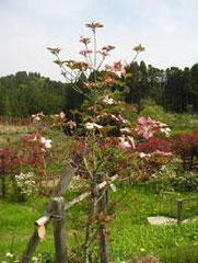植村氏の花水木