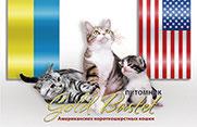 Pitomnik amerikanskih korotkoshyerstnih koshek kotov; Gold Bastet Kennel;  American Shorthair Cats Cattery; Kiev; Ukraina; Ukraine; Svetlana Grishko;