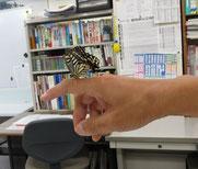蝶がサナギから羽化した!