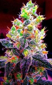 foto cogollo marihuana espectacular, imagen cogollo marihuana weedporn, weedporn BIG Seeds