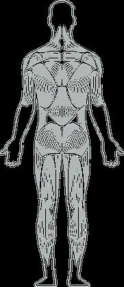 Verschiedene Muskelpartien des Körpers