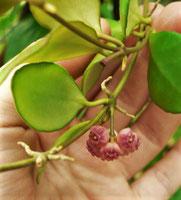 Hoya heuschkeliana (pink form)