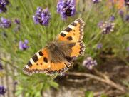 Kleiner Fuchs an Lavendel (Foto: Roland Steinwarz)