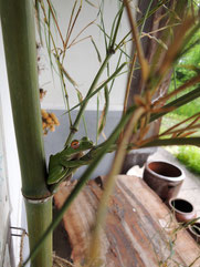 七夕飾りのカエルくん