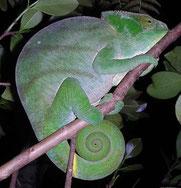 Riesenchamäleon (Calumma parsonii) aus Madagaskar.