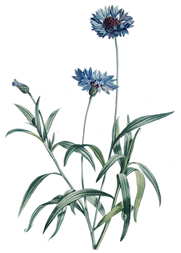 Bleuet - Centaurea cyanus - Gravure de Rousseau