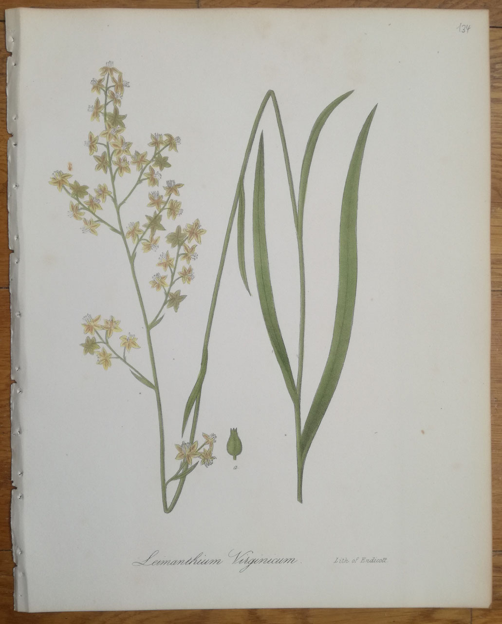 ORIGINAL PRINT out of the book A Flora of the State of New York 1843 Fly Honeysuckle botanical