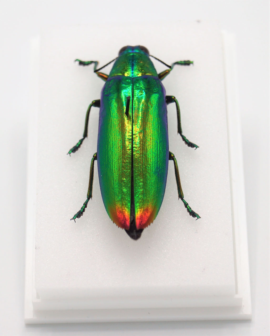 Chrysochroa wallacei green beetle insect Taxidermy REAL Insect
